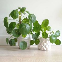 pilea peperomioides plant family cute pots for plants living with plants plants at home houseplants indoor plants plants Perfect Plants, Cool Plants, Potted Plants, Cactus Plants, Indoor Plants, Snake Plant Care, Chinese Money Plant, Boho Dekor, Living Vintage