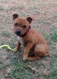 Cute Puppies, Cute Dogs, Dogs And Puppies, English Staffordshire Terrier, Animals And Pets, Cute Animals, Cute Animal Pictures, Family Dogs, Bull Terriers