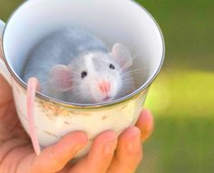 Rat In A Cup - link goes to a gallery of 20+ critters in cups. Adorable!