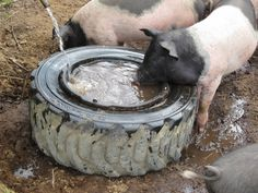 Miniature Pet Pigs – Why Are They Such Popular Pets? – Pets and Animals Farm Animals, Animals And Pets, Pig Shelter, Kune Kune Pigs, Pig Feed, Pot Belly Pigs, Pig Farming, Mini Pigs, Pet Pigs