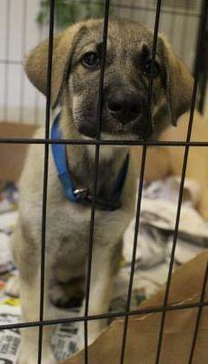 Cleveland Al German Shepherd Puppy Meet 39039513 For Adoption