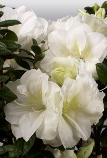 "Autumn Moonlight™ | Encore® Azalea: Fast growing upright variety with light green foliage and white ruffled flowers.    Bloom Color:	White  Plant Size:	Intermediate  Height:	5 feet  Spread:	4 feet  Bloom Span:	2.5"" across  Bloom Form:	Semi-double  USDA Zones:	7, 8, 9"