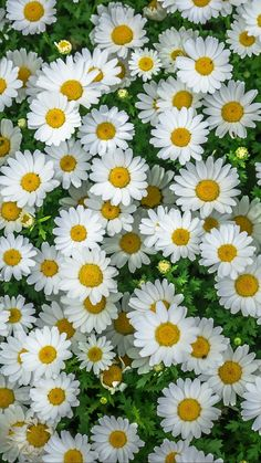 Flowers wallpaper daisy ideas for 2019 My Flower, Pretty Flowers, White Flowers, Daisy Flowers, Spring Flowers, Beautiful Landscapes, Beautiful Gardens, Daisy Love, Beautiful Flowers Wallpapers