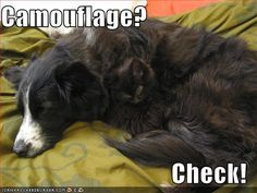 funny pictures cat dog camouflage - Funny cats and dogs pics! Funny Cats And Dogs, Cats And Kittens, Funny Animals, Cute Animals, I Love Cats, Crazy Cats, Cute Cats, Funny Pictures With Captions, Dog Pictures