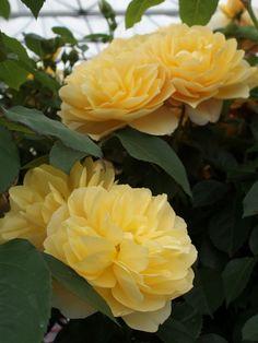 'Graham Thomas' | Shrub. English Rose Collection. David C. H. Austin, 1983 | Flickr - © britchickphoto