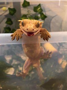 Blep : reptiles / eptiles as a pets, lizards, snakes, chameleons, gecko. Reptile… Blep : reptiles / eptiles as a Les Reptiles, Cute Reptiles, Reptiles And Amphibians, Cute Lizard, Cute Gecko, Cute Little Animals, Cute Funny Animals, Pet Lizards, Cute Creatures