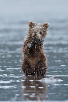 Alaskan Brown Bear Cub, Alaska, by D. Llamas Animal, My Animal, Nature Animals, Animals And Pets, Wild Animals, Beautiful Creatures, Animals Beautiful, Alaskan Brown Bear, Bear Cubs