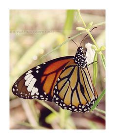 Monarch Butterfly :)