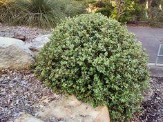 Garden Shrubs, Landscaping Plants, Garden Plants, Australian Garden Design, Australian Native Garden, Small Shrubs, Tall Flowers, Coastal Gardens, Sandy Soil