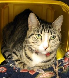 Khalessi: Breathtaking tabby girl is out of time at high-kill upstate shelter ** The shelter in Greenville, South Carolina is full. This sweet baby may only have a few days left.  OUT OF TIME!! NAME: Khalessi ANIMAL ID: 23824026 BREED: DSH SEX: Spayed Female EST. AGE: 2 yrs Est Weight: 11.10 lbs Health: Temperament: friendly