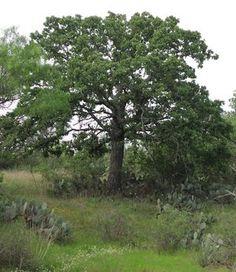 Oak, PostQuercus stellata. DETA-100132.jpg (300×346)