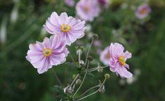 Herbst-Anemonen: Edler Blütenschmuck