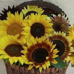 Sunflower Rainbow Mix sunflower seeds - Garden Seeds - Annual Flower Seeds