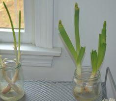 Cultivo - replantio de alho poró; blog Veganana. Horta em casa