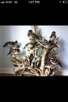 We get these every year on our lake! Too bad these are taxi's.not a fan.however, wood ducks are such colorful beauties! Taxidermy Decor, Taxidermy Display, Bird Taxidermy, Wood Duck Mounts, Deer Mounts, Waterfowl Hunting, Duck Hunting, Hunting Stuff, Wildlife Decor