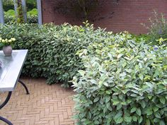 Elaeagnus x ebbingei is a wonderful evergreen shrub from which to make topiary. You can have a lovely, dense hedge like this in just years - provided you water! Hedge Trees, Evergreen Hedge, Hedging Plants, Garden Shrubs, Shade Loving Shrubs, Mediterranean Plants, Front Gardens, Farmhouse Garden, Edible Plants
