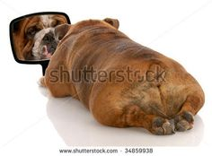 beauty is skin deep - english bulldog looking at herself in the mirror