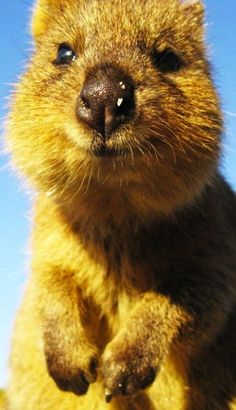 Quokka- only (mostly) found on Rottnest Island, quite close to where I live!