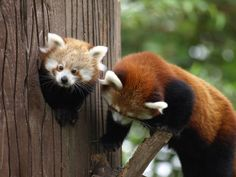 mother and baby red panda