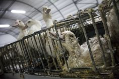 Shocking cruelty Exposed at Caracierzos Foie Gras Farm