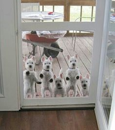 A pack of adorable Westies ♥  I would love to look out the door and see this!!
