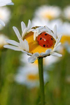 Daisy & Ladybug | Flickr - Photo Sharing!