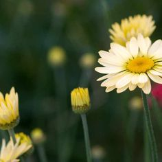 Dyer's chamomile, Anthemis tinctoria 'E. C. Buxton', is a fantastic marguerite for a variety of situations. Drought-tolerant but short-lived, it bears pretty, lemon-yellow daisies throughout summer, above fern-like, aromatic foliage. It makes an excellent cut flower.