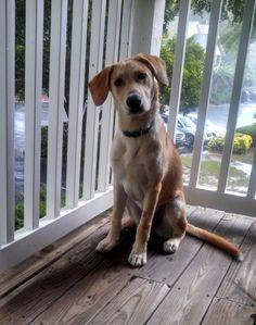 Riverside is a Labrador Retriever mix with  Angels Among Us Pet Rescue, Inc. in #Alpharetta #Georgia seeking a loving fur-ever home