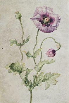 Johanna Helena Herolt Graff, Anemone, Late 17th - early 18th century