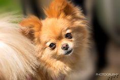 Winnie - Portrait - Winnie the PomChi at Dallas Road Victoria BC
