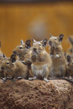 Rodent degu. Walk with his fellow , #spon, #degu, #Rodent, #fellow, #Walk #ad