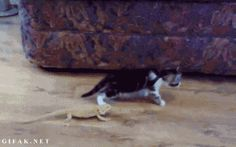 Kitten Meets Iguanas And Freaks Out. Not worth losing your lives over.. cat,lizard,cute,iguana,freakout,kitten