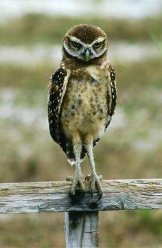 Burrowing owl - Kathy Ann Gregg, Wauchula, FL
