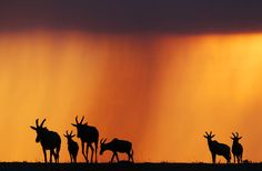 Sunset with Topi silhouettes. by Stephan Tuengler