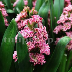 Double-flowered Hyacint, for in the garden. Flowering time: April-May. Pink with a little bit of white, unusual shaped flowers. April May, Pink Garden, Green, Image, Plant, Roses Garden