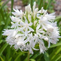 Agapanthus Queen MumL\'Agapanthe (ou Agapanthus) Queen Mum fleurit ...