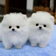 Micro Male&Female Poms Puppies For Adoption - Hunde - Dogs Baby Animals Super Cute, Cute Baby Dogs, Cute Little Animals, Cute Funny Animals, Adorable Dogs, Dog Baby, Baby Cats, Baby Sleep, Teacup Pomeranian Puppy