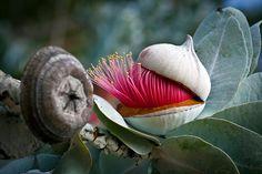 Close up of a gum tree,  flower bud.