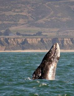 A gray whale spy-hopping off the coast of California near Half Moon Bay, photographed on an Oceanic Society whale watching trip.