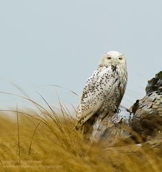Snowy owl at Ocean Shores