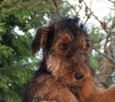 Image result for airedale terrier puppies
