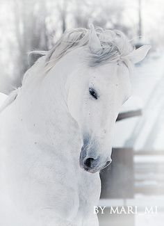 Quate by mari-mi ~ Andalusian stallion* Most Beautiful Animals, Beautiful Horses, Beautiful Creatures, Magical Creatures, Types Of Horses, Majestic Horse, All The Pretty Horses, White Horses, Shades Of White