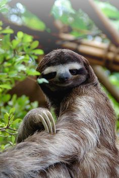 The brown-throated sloth (Bradypus variegatus) There are 4 species of three-toed sloths, and  two species of two-toed sloths.