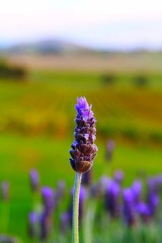 Streamzoo photo - Lavender flower on the edge of the vineyard. Lavender Flowers, Dandelion, Vineyard, Plants, Dandelions, Vine Yard, Vineyard Vines, Plant, Taraxacum Officinale
