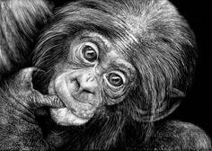 Bonobo Baby   Melissa Helene Fine Arts 5x7 scratchboard www.melissahelene.com #bonobo #endangeredspecies #wildlife #wildlifeart