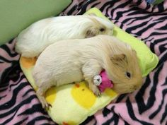 Guinea pig with a tiny teddy bear! <3