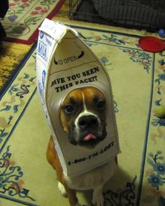 Milk carton costume : boxer dog costume  - Germanpascual.Com