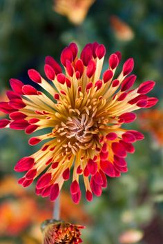 Chrysanthemum 'Matchsticks'