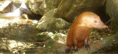 Rare golden morph - Collared mongoose Credit: FFI