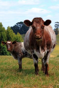 Shorthorn Cow and calf   Beautiful!!